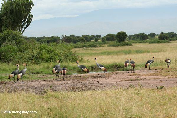 Menge des grauen gekrönten Kranes (Balearica regulorum) auf dem afrikanischen