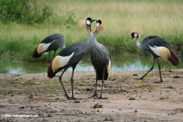 Pair of Grey crowned cranes