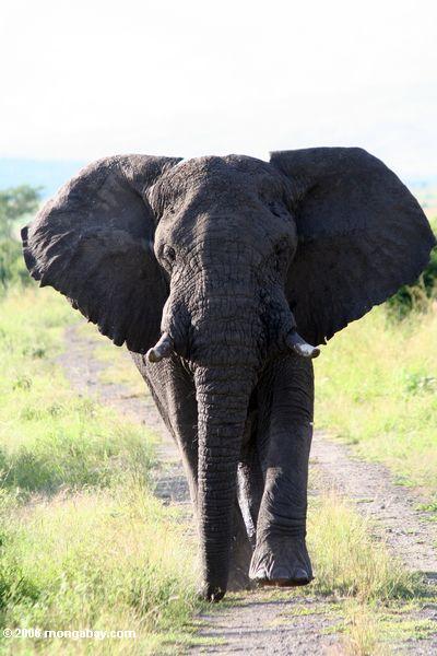 Large African elephant (Loxodonta africana)