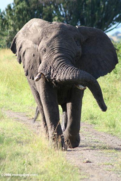 African elephant charging toward us