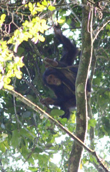 Wild chimpanzee (Pan troglodytes) in the rainforest canopy of Chumbura gorge