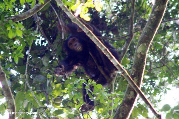 Wilder Schimpanse hoch im tropischen Nationalpark