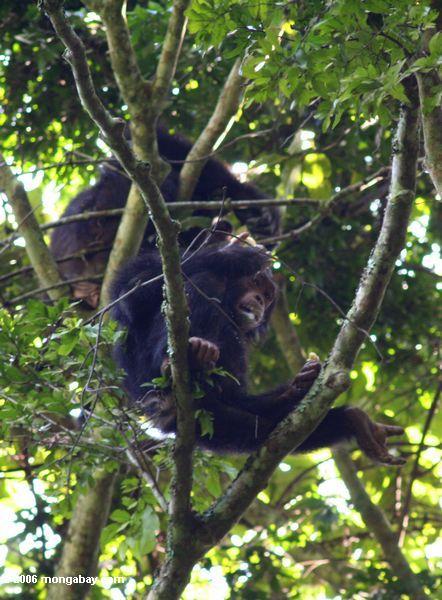 Wilde Schimpansen in einem