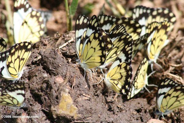 As borboletas pretas e amarelas recolheram no desperdício do elefante