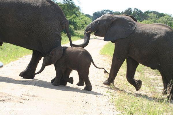 Elefanten, die Straße am Kurzstrecken