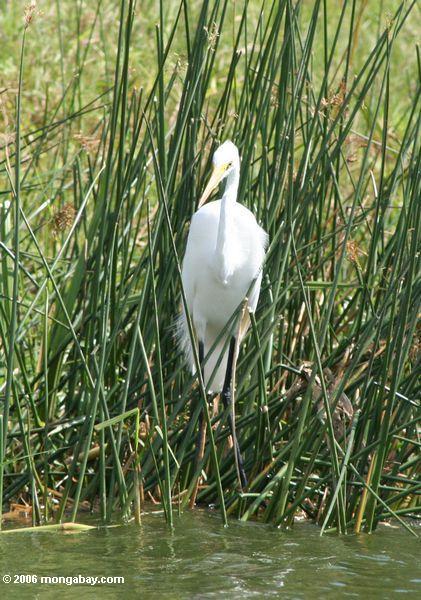 Großer weißer Reiher (Ardea alba), ein Nationalpark