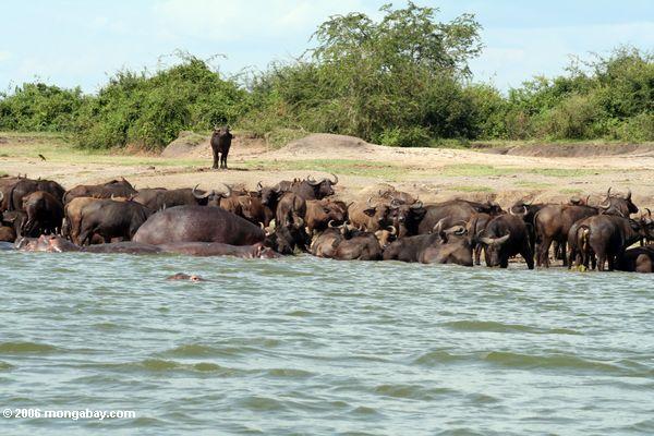 Masse der Flußpferde und des Büffels im Nationalpark