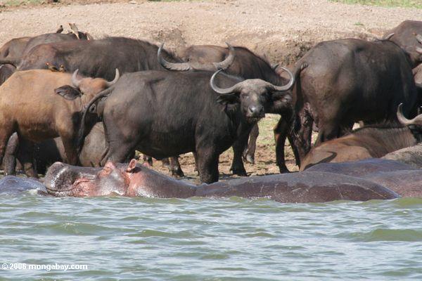 Hippo dormir com o búfalo de cape no fundo