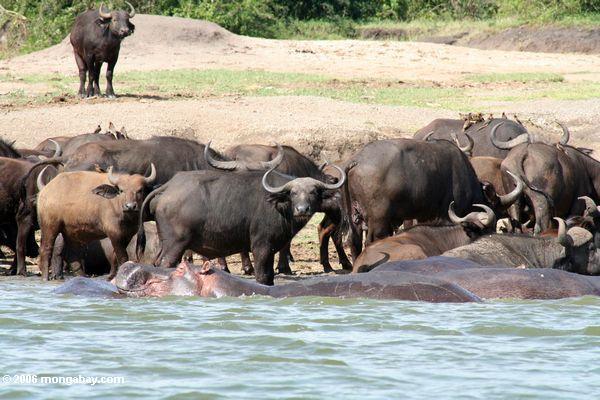 Hippo que descansa sua cabeça na parte traseira de outra com o búfalo de cape no fundo