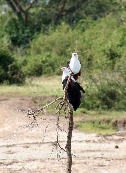 Paar afrikanische Fischadler, Nationalpark