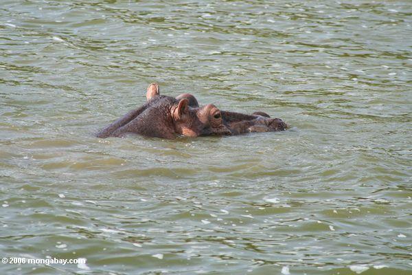 Flußpferd mit dem Kopf, der aus Nationalpark