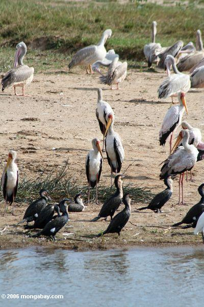 Great cormorants, Pink-backed pelicans, Great white pelicans, Little egret, yellow-billed storks on a beach