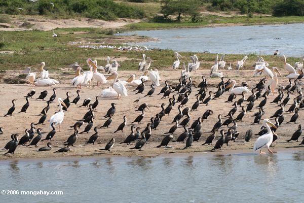 Pelicans e cormorants na costa do lago Edward