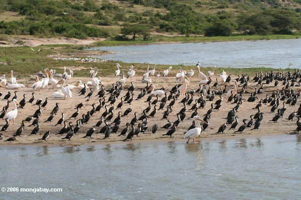 Pelicans and cormorants on the sandy shore of Lake Edward