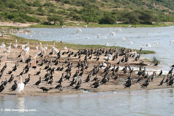 Large numbers of waterbirds on the shore of Lake Edward