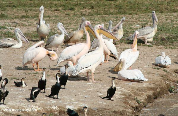Pelican branco grande (onocrotalus de Pelecanus), Pelican Cor-de-rosa-suportado (rufescens de Pelecanus), e cormorant grande (carbo de Phalacrocorax)