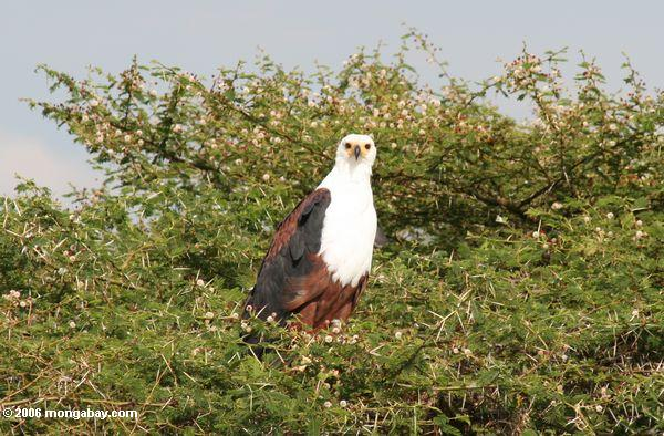Photo: African fish eagle perched in a thorn bush