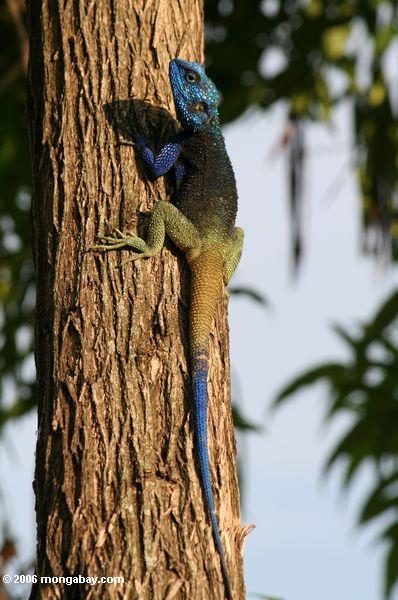 Blau-vorangegangener Baumdickzungeneidechse (Acanthocerus atricollis)