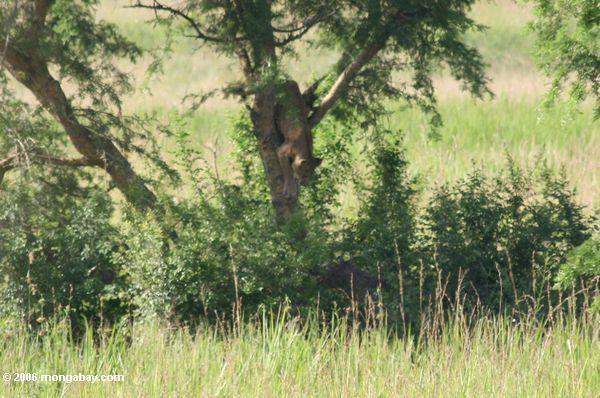 Дерево-льва из альпинистская isasha восхождение из дерева