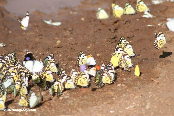 Schmetterlinge, die auf den Rand eines Nationalparks