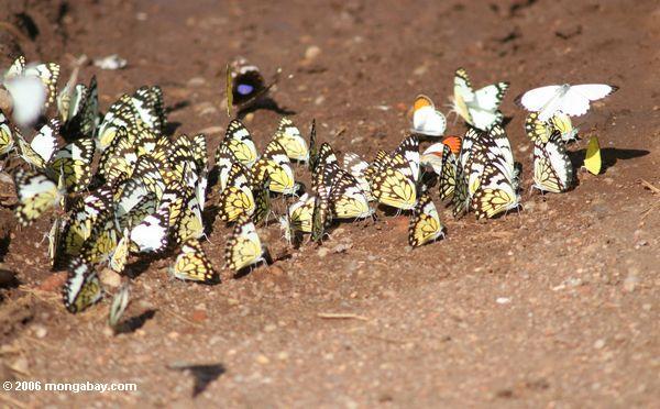 belenois creona бабочек питания на полезные ископаемые и влаги в грунтовые дороги