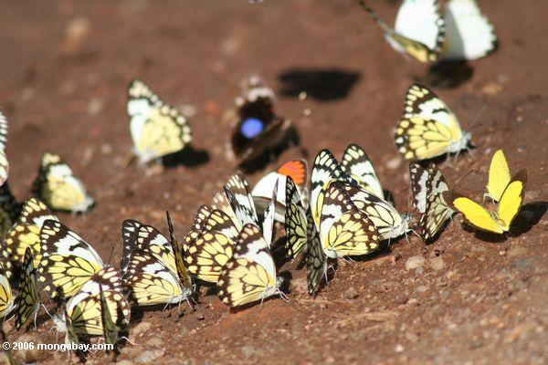 Butterflies feeding on minerals in Uganda. Photo by: Rhett A. Butler.