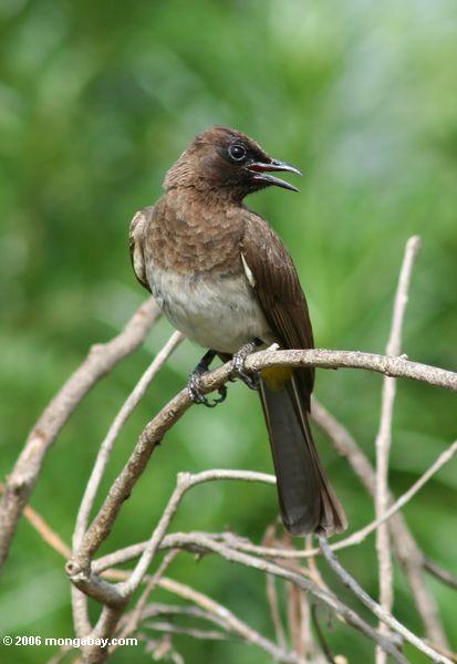 Brauner Vogel, möglicherweise ein