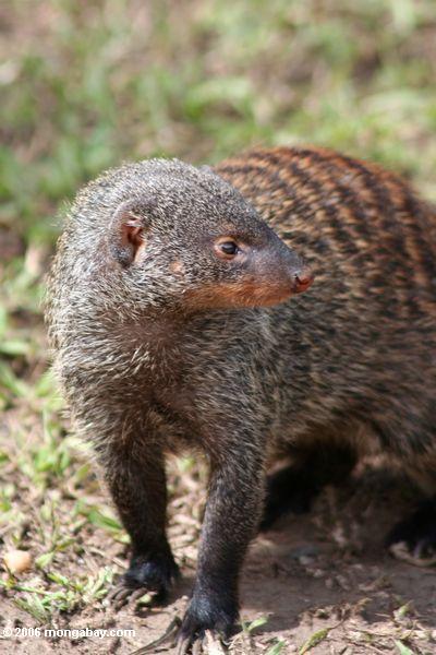 Mit einem Band versehener Mongoose (Mungomungo), ein Sozialtier