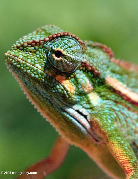 Chameleon de Elliot (ellioti) de Chamaeleo, headshot próximo
