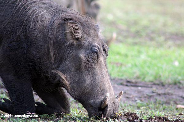 Warthog feeding from its knees