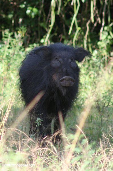 Porco gigante da floresta (meinertzhageni de Hylochoerus)