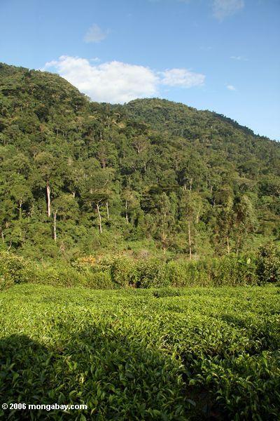 Tea plantation lying at the foot of Bwindi rain forest