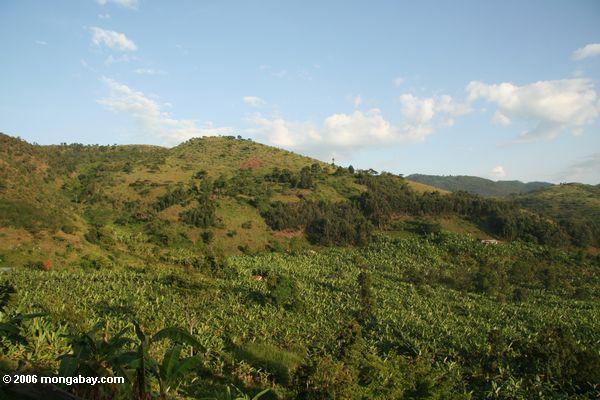 Banane Plantagen in Uganda