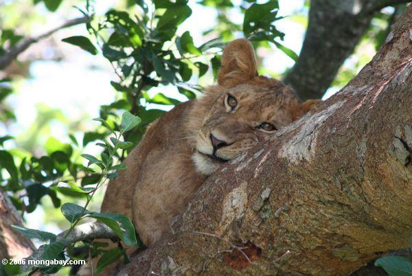 Lion in a Ficus tree