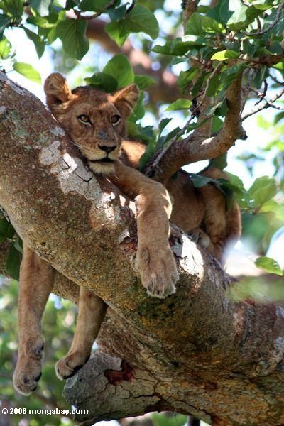Tree climbing lion (Panthera leo)