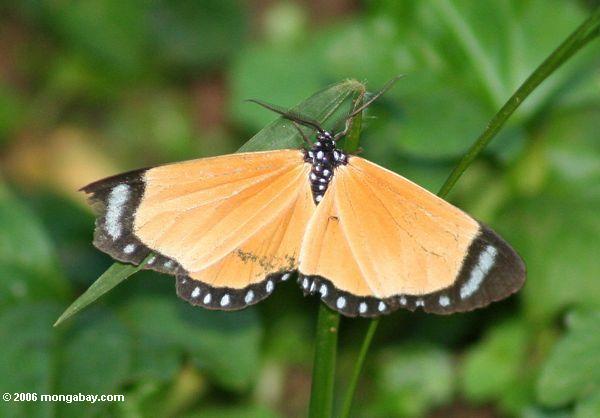 оранжевый, как бабочки-мотылька