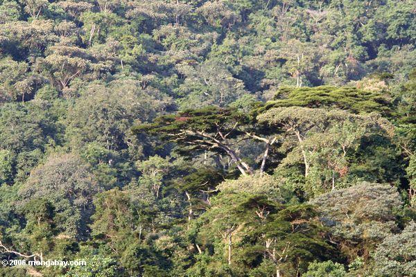 Überdachungbäume im Wald Bwindi