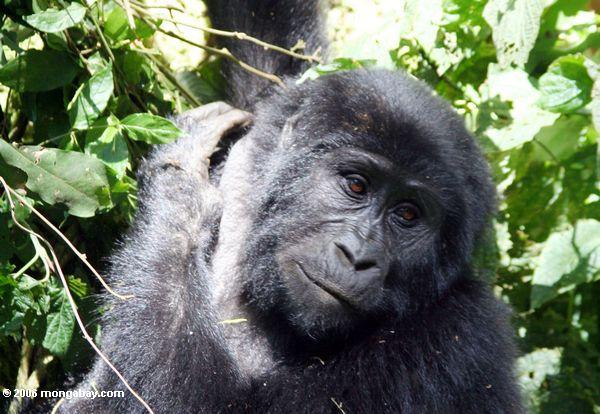 Nahaufnahme des Gesichtes des weiblichen Bwindi Gorillas