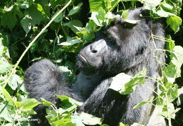 Silverback gorilla in Bwindi Impenetrable National Park, Uganda. Photo by: Rhett A. Butler.