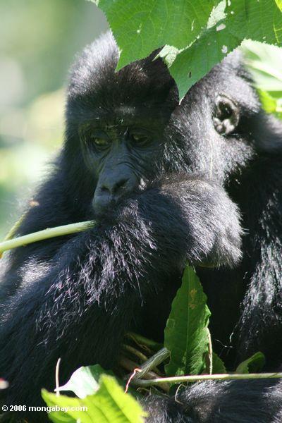 Gorilla de planície oriental do bebê que alimenta em tiros da planta