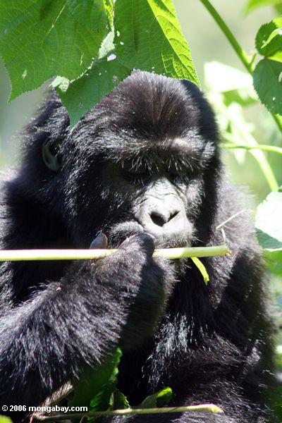Baby eastern lowland gorilla eating a plant shoot