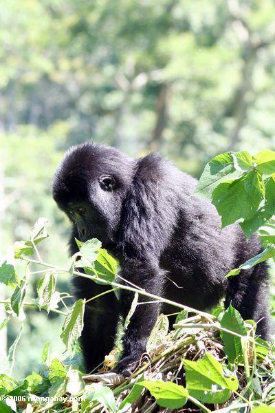 Bwindi Gorilla des östlichen Tieflandes