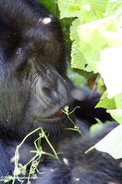 Silverback gorillas feeding on herbs