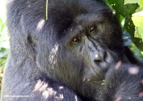 Eastern lowland gorilla in Bwindi