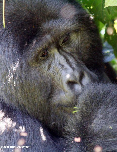 Männlicher silverback Gorilla des östlichen Tieflandes, der Bwindi