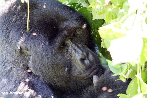 Eastern lowland silverback gorilla in Bwindi