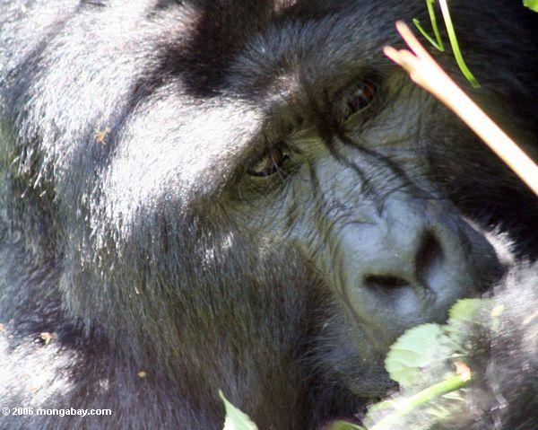 Face shot of silverback gorilla eating leaves