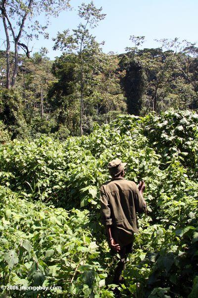 Perseguidor del gorila en Bwindi