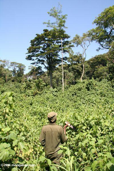 Verfolger, der mit Machete durch stechende Nesseln auf der Suche nach Gorillas zerhackt