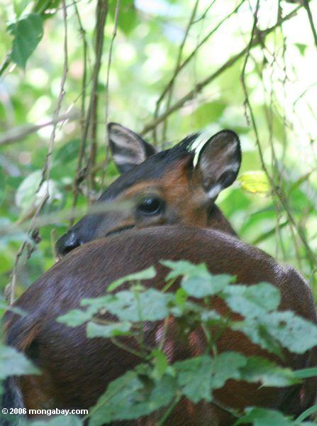Red duiker (Cephalophus rufilatus), a small forest antelope